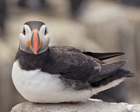 Sitting Puffin Stock Photos