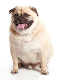 Sitting Pug Royalty Free Stock Photography