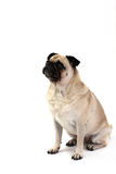 Sitting Pug. Pug sitting down and looking up at owner.  Isolated on white Stock Images