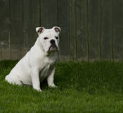 Sitting pup. Bulldog puppy sitting on the grass Royalty Free Stock Images