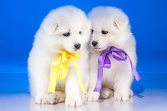 Sitting puppies of Samoyedskaja dog Royalty Free Stock Photos