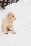 Sitting puppy Royalty Free Stock Photography
