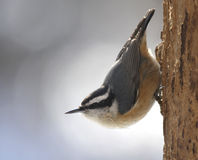 Sitting Red-breasted Nuthatch Royalty Free Stock Photo