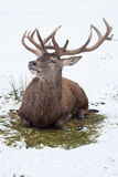 Sitting red deer in winter Royalty Free Stock Photography