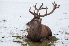 Sitting red deer in winter Stock Images