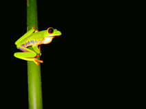 Sitting red eyed tree frog. Red eyed tree frog sitting on a twig with a dark background Stock Photos