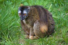 Sitting Red-fronted lemur, Eulemur rufifrons Royalty Free Stock Images