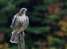 Sitting Red-tailed Hawk Royalty Free Stock Photo