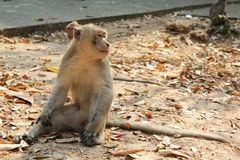 Sitting relaxation monkey. Relaxing monkey sitting show its side on the ground with fall leave Royalty Free Stock Photo