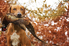 Sitting Ridgeback holds in its mouth pheasant Stock Image