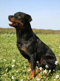 Sitting Rottweiler. Profil of purebred mastiff rottweiler: sitting watching dog in flowers Royalty Free Stock Image