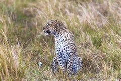 Sitting in savannah leopard. Masai Mara, Kenya stock images
