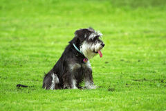 Sitting schnauzer Royalty Free Stock Images
