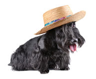 Sitting  scotch terrier Stock Photography