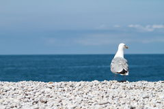 Sitting seagull Royalty Free Stock Photos