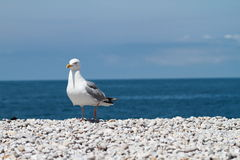 Sitting seagull. White and grey seagull standing on stone beach watching to camera Royalty Free Stock Photography