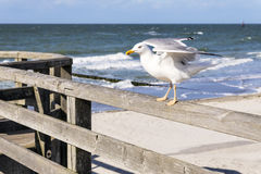 Sitting seagull Royalty Free Stock Images
