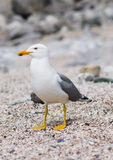 Sitting seagull at the seashore Stock Photography