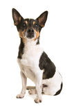Sitting senior Jack Russell terrier Royalty Free Stock Photos