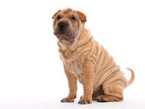 Sitting Shar Pei. Shar Pei sitting in front of a white background Royalty Free Stock Images