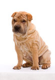 Sitting Shar Pei. Shar Pei sitting in front of a white background Royalty Free Stock Image