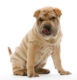 Sitting Shar Pei. Shar Pei sitting in front of a white background Stock Images