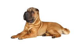 Sitting sharpei Royalty Free Stock Image