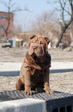 Sitting sharpei puppy. Chocolate coloured girl sharpei puppy is sitting Stock Photography