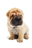 Sitting sharpei puppy dog Royalty Free Stock Photos