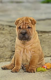 Sitting sharpei puppy dog. Red coloured sharpei puppy sitting with wet nose Royalty Free Stock Image