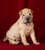 Sitting sharpei puppy2. Fawn coloured boy sharpei puppy is sitting Royalty Free Stock Photos