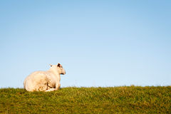 Sitting sheep at the Dike Royalty Free Stock Photography