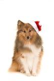 Sitting sheltland sheepdog sheltie facing the camera wearings santa`s hat Stock Photo