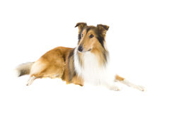 Sitting Shetland Islands Collie Royalty Free Stock Photography