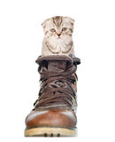 Сat sitting in the shoe.  on white background.  Royalty Free Stock Photos
