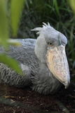 Sitting shoebill Stock Photo