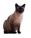 Sitting Siamese cat Royalty Free Stock Image