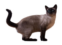 Sitting Siamese cat Stock Image