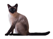 Sitting Siamese cat Stock Photos