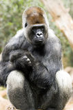 Sitting silver back gorilla Royalty Free Stock Photos