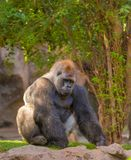 Sitting silverback Gorilla portrait Royalty Free Stock Images