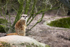 Sitting single gopher Royalty Free Stock Images