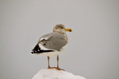 Sitting on the snow in New Castle NH Royalty Free Stock Image