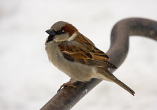 Sitting sparrow Royalty Free Stock Photo