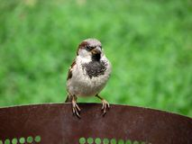 Sitting sparrow. On green background Royalty Free Stock Photography