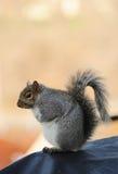 Sitting squirrel Royalty Free Stock Image
