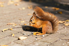 Sitting squirrel. In city park stock photo