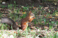Sitting squirrel eating nut Royalty Free Stock Images