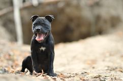 Sitting staffordshire bull terrier dog. Portrait photo royalty free stock photo