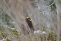 Steppe Eagle hidden in bush branches Stock Photography